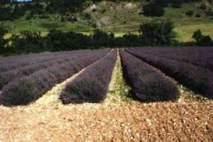 10 Kräuter der Provence - Lavendelfelder